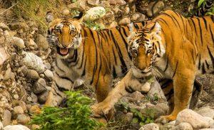 tiger-sighting-at-corbett