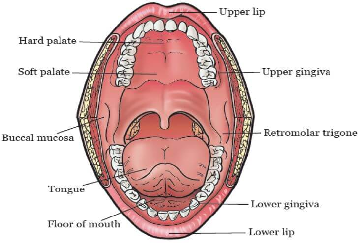 Oral Cavity or Buccal Cavity