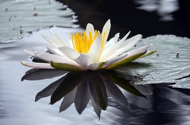 Lotus in zen garden